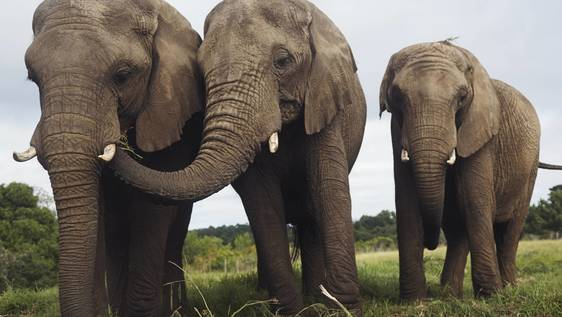 Dwindling Giants African Elephant Eco-Learning