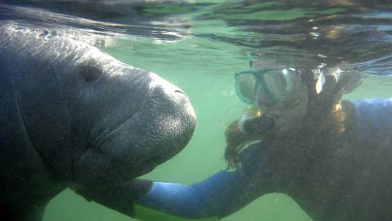 Manatee Rehabilitation Internship