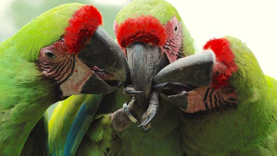 Macaw Conservation