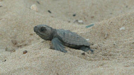 Assist in Sea Turtle Conservation