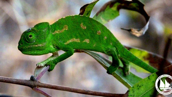 Chameleon Research and Conservation Internship