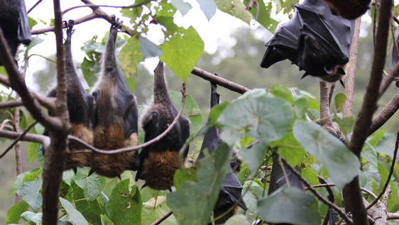 Saving Flying Foxes
