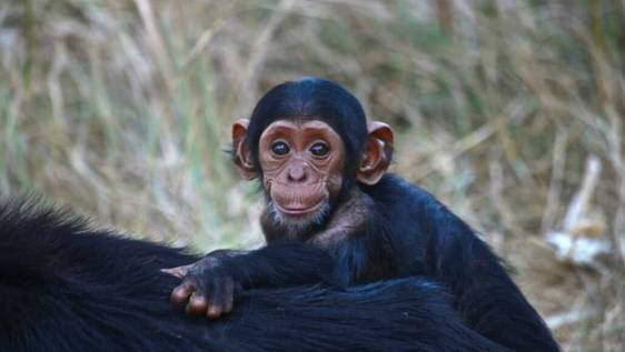 Chimpanzee Wildlife and Orphan Care