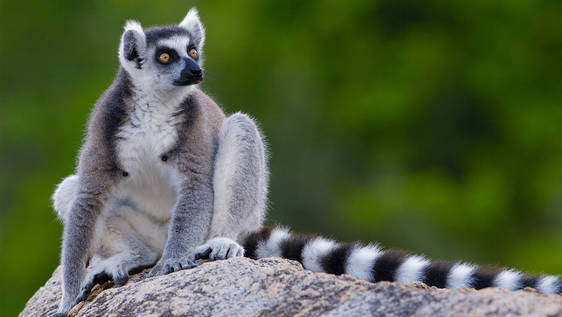Lemur Conservation Assistant