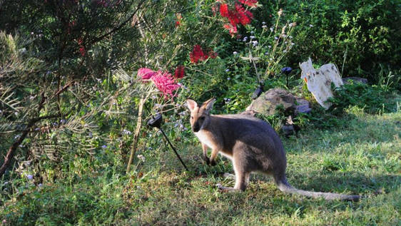 Wallaby, Kangaroo and Possum Care