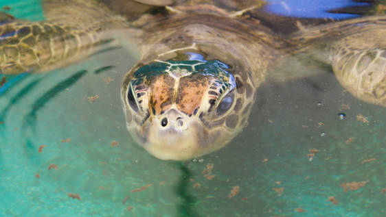 Sea Turtle Rehabilitator