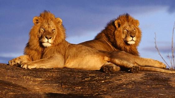 Maasai Mara Lion & Elephant Conservation